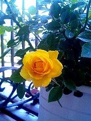 070430_rose