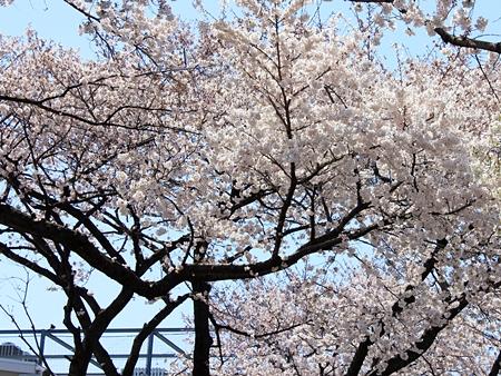 20120408sakura11.JPG