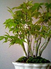 060504_bonsai